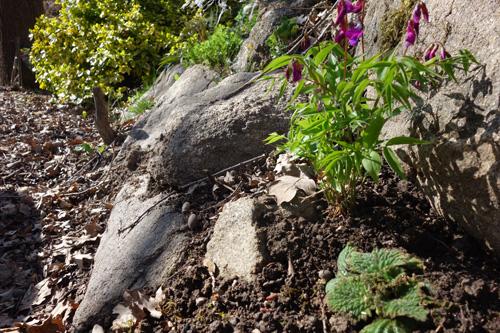 Fühlingsplatterbse und im Vordergrund Pyrenäen-Felsenteller (Ramonda myconii), eine Liebaberpflanze die verwandt ist mit dem Usambaraveilchen.