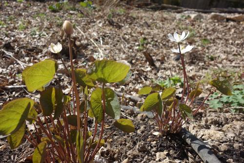 Das Zwillingsblatt (Jephersonia diphylla) aus Nordamerika ist eine viel zu selten gepflanzte Staude. Ein wunderschöner Austrieb mit großen, weißen Schalenblüten.