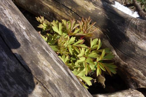 Der golden schimmernde Austrieb des Tränenden Herzens (Dicentra spectabilis 'Goldflame') schieb sich zwischen dem Totholzstapel hervor.