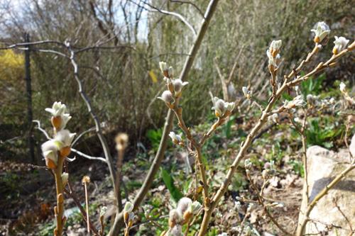 Die ersen Kätzchen der stets gedrungen wachsenden Schweizer Weide (Salix helvetica).