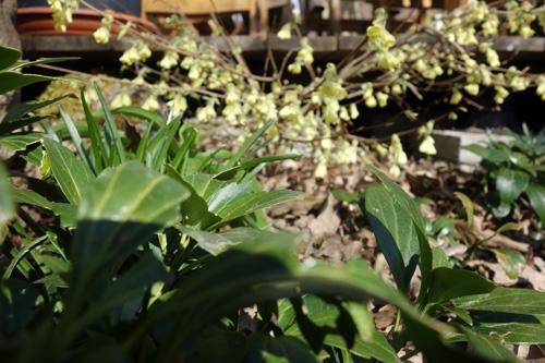 Über immergrünen Dickmännchen (Pachysandra terminalis) thronen die schwefelgelben Blüten der Scheinhasel (Corylopsis pauciflora).