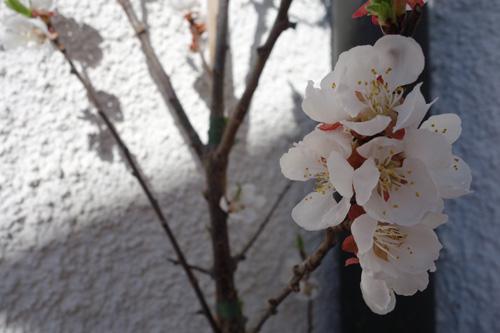 Die Blüte der Aprikose (Sorte 'Hagrand') in einem sehr geschützen Eck unseres Gartens.