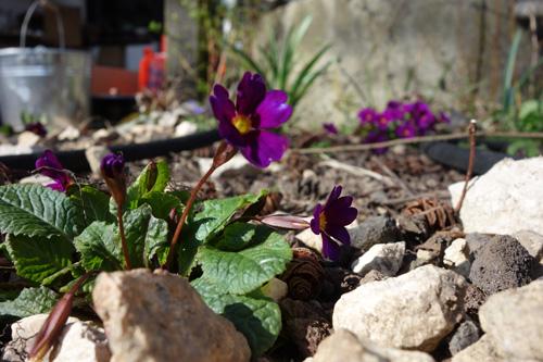 Eine meiner absoluten Lieblingsprimeln. Die Teppich-Primel (Primula x pruhoniciana) schiebt teilweise schon im Februar Blüten.