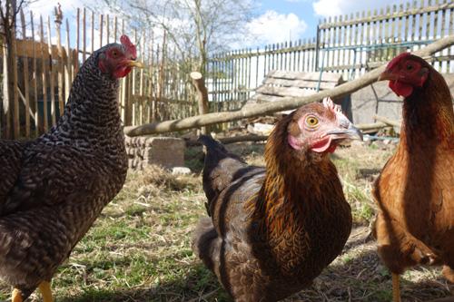Unser Neuzugang. Drei von Vier Hühnchen. Von Links nach rechts: Rocko, Choko und Lilo. Yoko ist grad beim Eierlegen.