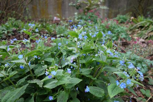 Selbst im trockenen Halbschatten gedeihen Kaukasusvergissmeinnicht immer üppig (Brunnera macrophylla).