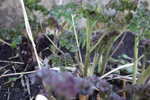 Der üppige Frühjahrsaustrieb der Wiesenraute (Thalictrum flavum) lässt schon auf das üppige Wachstum der Großstaude schließen.