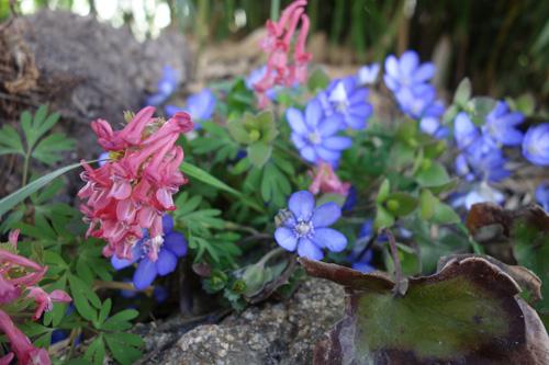 Eine faszinierende Frühlingsmischung: Gefingerter Lerchensporn (Corydalis solida ssp. solida) und Leberblümchen (Hepatica nobilis).