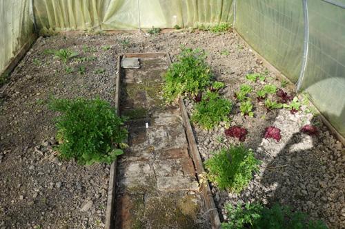 Überwinterte Petersilie, erste Salate und Jungpflanzen von Rettich, Mairübchen und Kohlrabi im Gewächshaus.