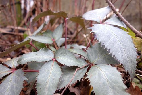 Helleborus sternii 'Silverdollar' mit rötlichen Stielen und bläulich silbernen Laub;