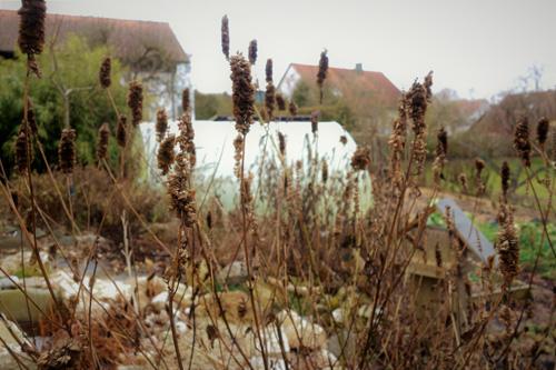 Samenstände von Agastache rugosa bleiben über den ganzen Winter attraktiv.