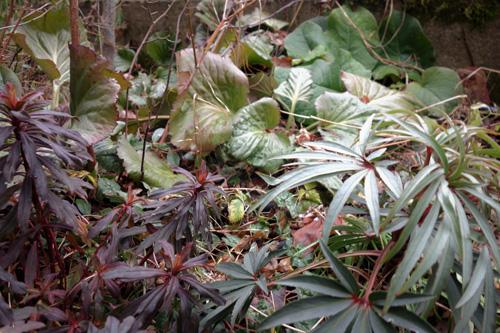 Verschiedene Laubtexturen. Im Vordergrund Helleborus foetidus und Euphorbia amygdaloides. Im Hintergrund Bergenia cordifolia und Trachystemon orientalis.