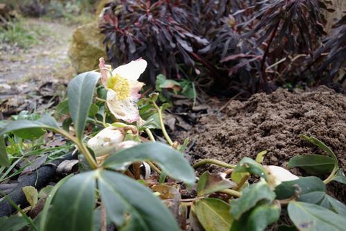 Helleborus niger fehlt der kalkhaltige Standort, desshalb sieht die Christrose bei uns immer etwas zerrupft aus.