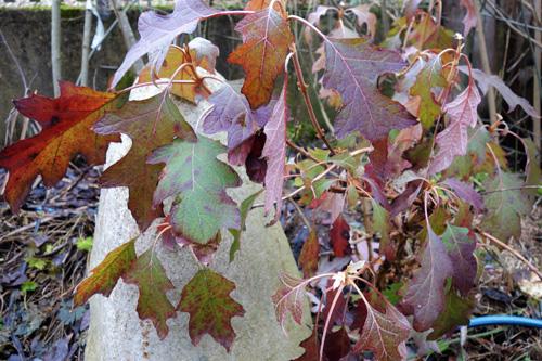 Langanhaltende Farbenpracht bei den Eichblatthortensien (Hydrangea quercifolia).