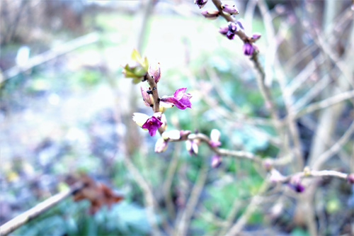 Die ersten Blüten des heimischen Seidelbastes (Daphne mezereum) öffen sich bereits.