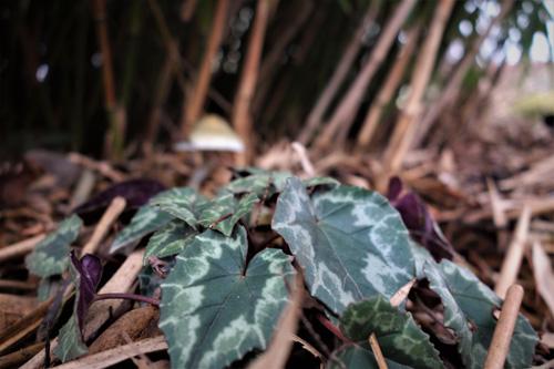 Cyclamen hederifolium besitzt wunderschöne Blattzeichnungen