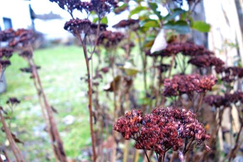 Samenstände von Sedum telephium zieren bis in das Frühjahr das Staudenbeet.