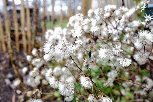 Samenstände von Aster divaricatus bringen locker, luftige Strukturen in den winterlichen Garten.