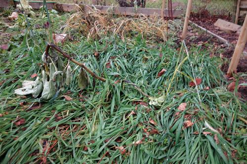 Grüneinsaat mit Winterroggen. Zum ersten mal ist das Saatgut voll aufgelaufen. Hervorragende Bodenabdeckung.