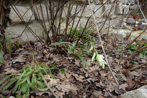 Lilium candidum und Papaver orientalis überwintern mit grünen Blattschöpfen. Bei sehr tiefen Temperaturen und Wintersonne können die Pflanzen leiden.