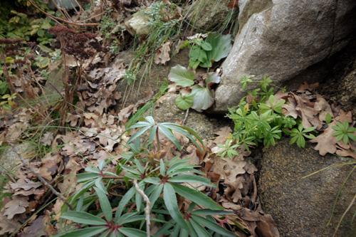 Eine interessante Kombination für den Trockenschatten: Helleborus foetidus, Galium odoratum und Bergenia cordifolia.