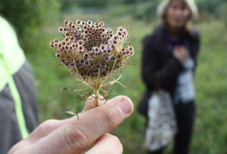 Die Samen der Wilden Möhre (Daucus carota) schmecken würzig und warm, ähnlich wie Kümmel
